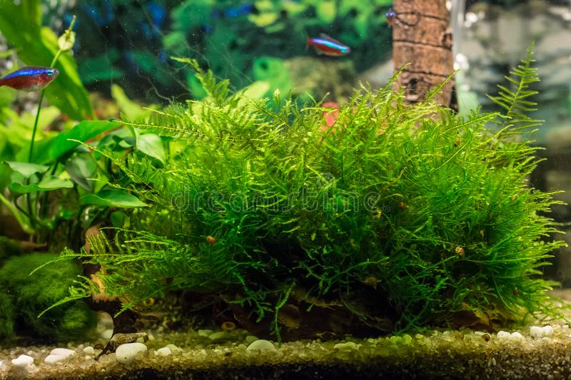Java moss / Vesicularia in aquarium. Common aquarium plant - java moss latin name Vesicularia in fresh water aquarium royalty free stock images