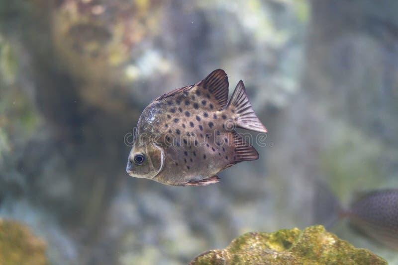 Java Rabbitfish (javus de Siganus) photos stock