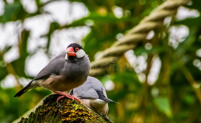 Java rice sparrow sitting on a tree stump, tropical bird from the java island of Indonesia, Endangered bird specie, popular pet in royalty free stock photo