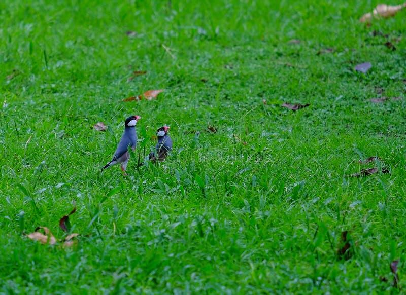 Java Sparrow photos stock