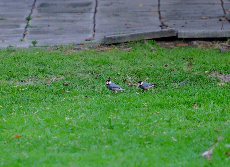 Java Sparrow fotografie stock libere da diritti