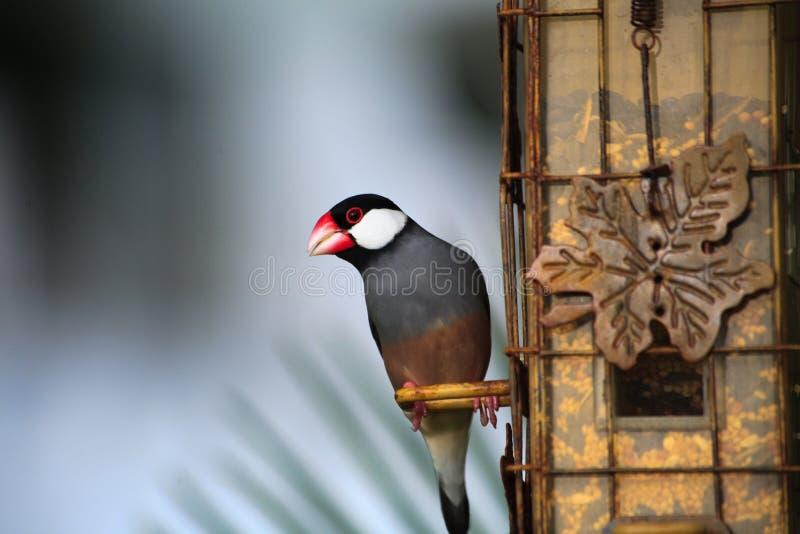 java sparrow royaltyfria bilder