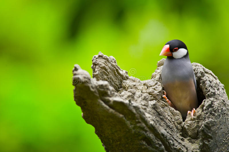 java sparrow royaltyfri bild