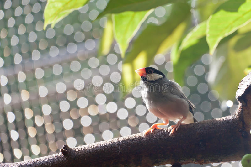 Download Java Sparrow stock photo. Image of life, sparrow, animal - 25532028