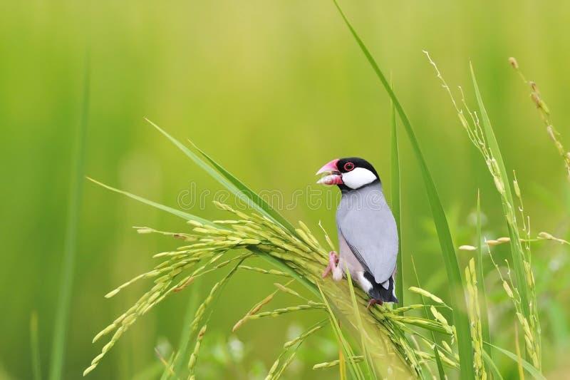 Java Sparrow image stock