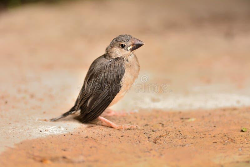 Java Sparrow foto de stock