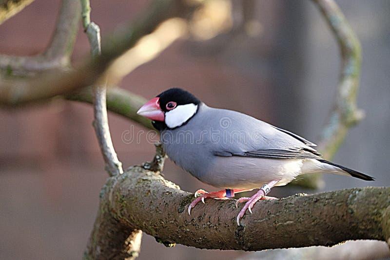 Java Sparrow accovacciato sul ramo di un albero,Chester Zoo fotografie stock