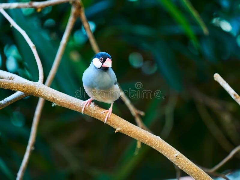 Java Sparrow au zoo photos stock