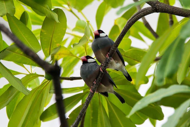 Java Sparrow auf Niederlassungsmann und weiblichem Liebhaber stockbild