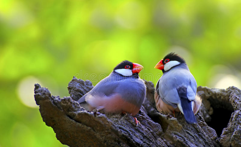 Java sparrow birds. Pair of java sparrow birds perched on a tree stock photography