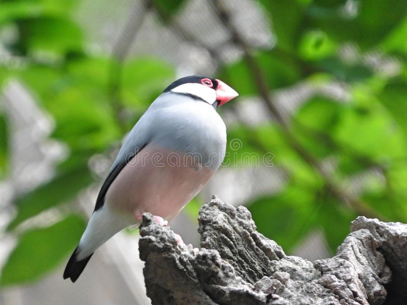 Java Sparrow Bird. Pink grey colors, green background, pink beak royalty free stock photos