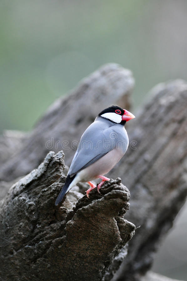 Free Java Sparrow In The Tree Royalty Free Stock Images - 17215819