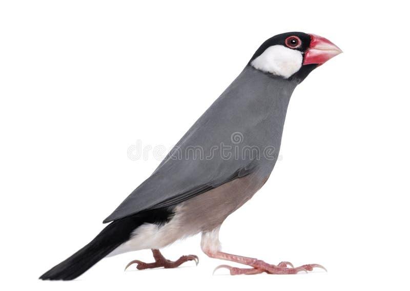 Download Java Sparrow - Padda Oryzivora Stock Image - Image: 30340657