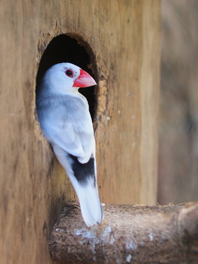 Java sparrow (Parra oryzivora). Java Sparrow at the entrance of a Nesting Box royalty free stock photos