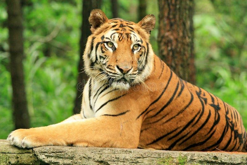 java stark tiger royaltyfria bilder