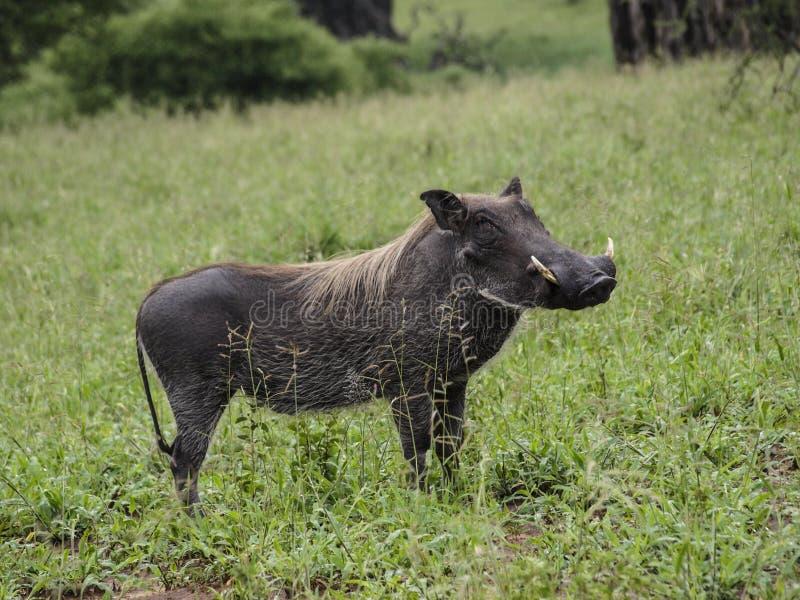 Javali africano 1 fotos de stock