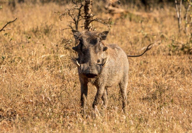 Javali africano em África do Sul em uma planície seca foto de stock royalty free