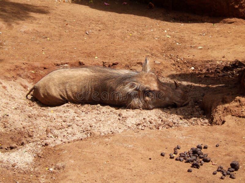 Javali no jardim zoológico de Havaí imagem de stock royalty free