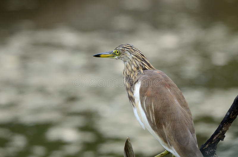 Javan池塘苍鹭(Ardeola speciosa) 免版税图库摄影