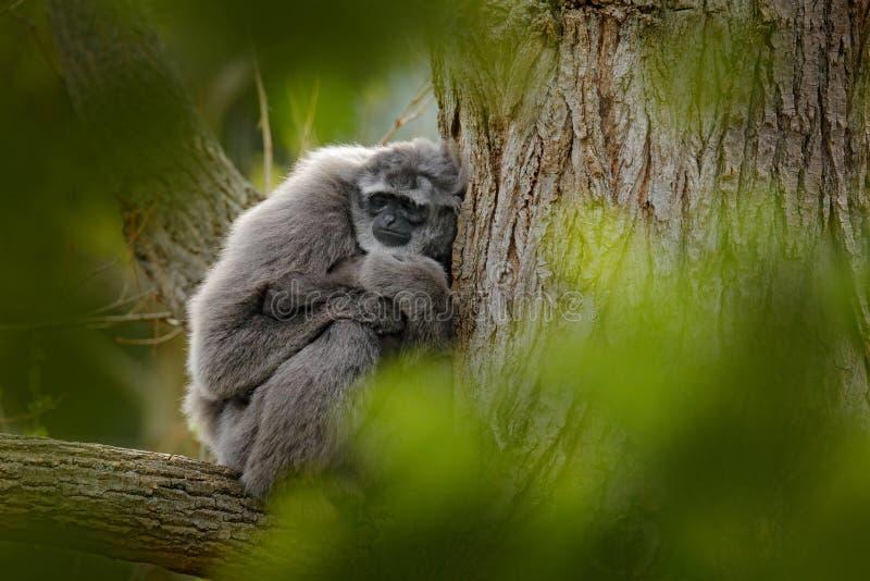 Javan银色长臂猿,长臂猿moloch,猴子在自然森林栖所 在树的灰色长臂猿,Java,印度尼西亚在亚洲 图库摄影