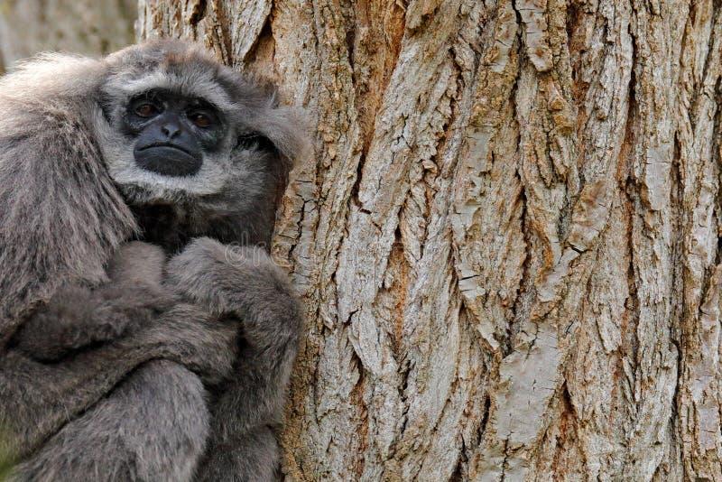 Javan Gibbon argenteo, moloch del Hylobates, scimmia nell'habitat della foresta della natura Gibbone grigio sull'albero, Java, In fotografia stock libera da diritti