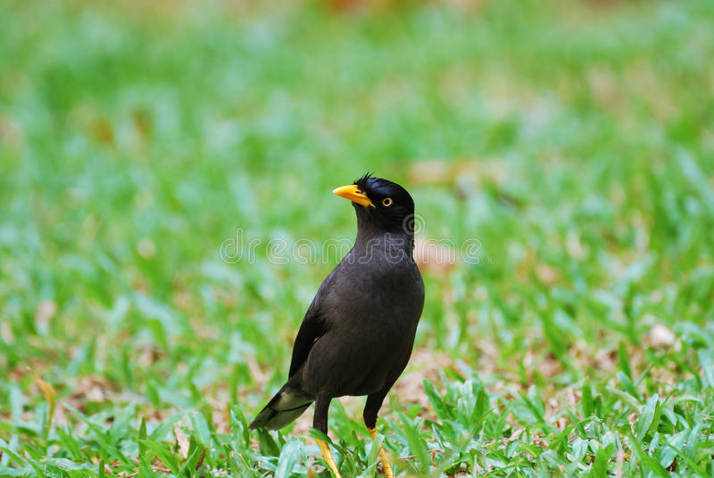 Download Javan Myna stock image. Image of cackle, nest, javan - 22800267