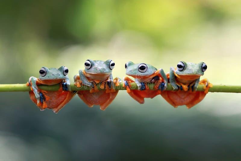 Javan tree frog sitting on branch royalty free stock image