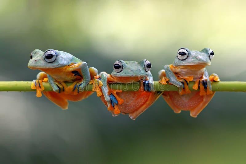 Javan tree frog sitting on branch royalty free stock photos