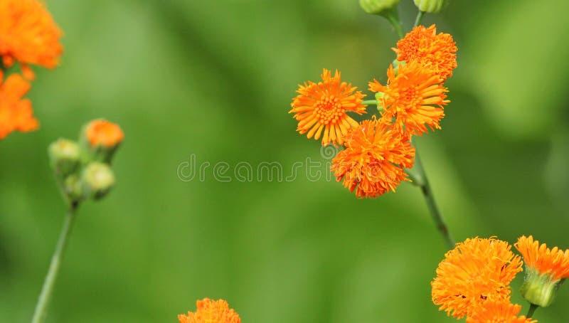 Javanica της Αιμιλία ή ιρλανδικός ποιητής πορτοκάλι λουλουδιών στοκ εικόνα με δικαίωμα ελεύθερης χρήσης