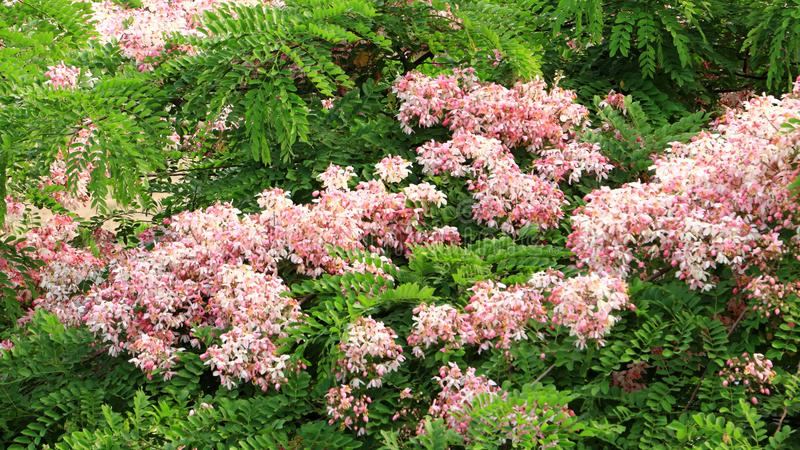 Javanica floreciente de la casia, ducha rosada, casia de Java, ?rbol del flor de Apple fotos de archivo libres de regalías