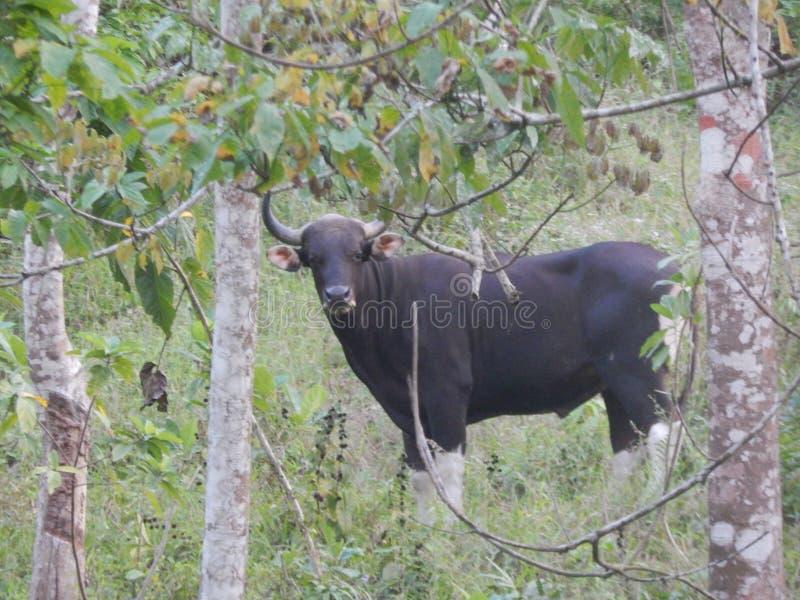Javanicus босса Bull стоковая фотография