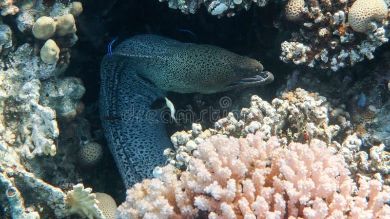 Javanicus gigante de Moray Eel - de Gymnothorax fotos de stock
