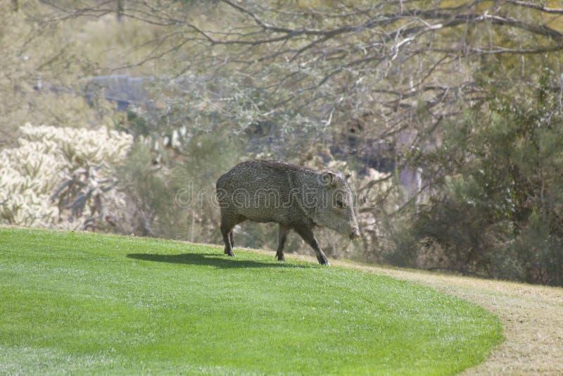 Javelina sauvage sur le terrain de golf photographie stock