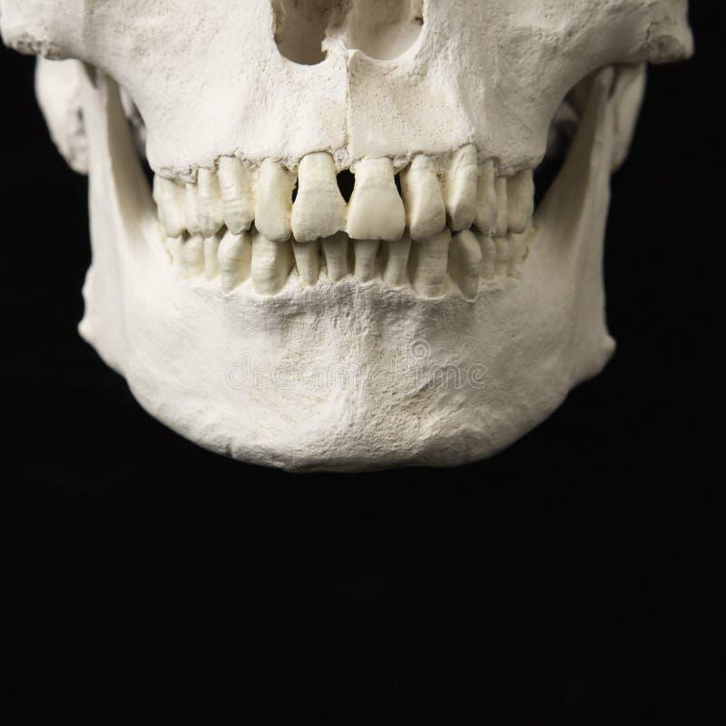 Download Jaw on skull. stock image. Image of model, studio, indoors - 3532401