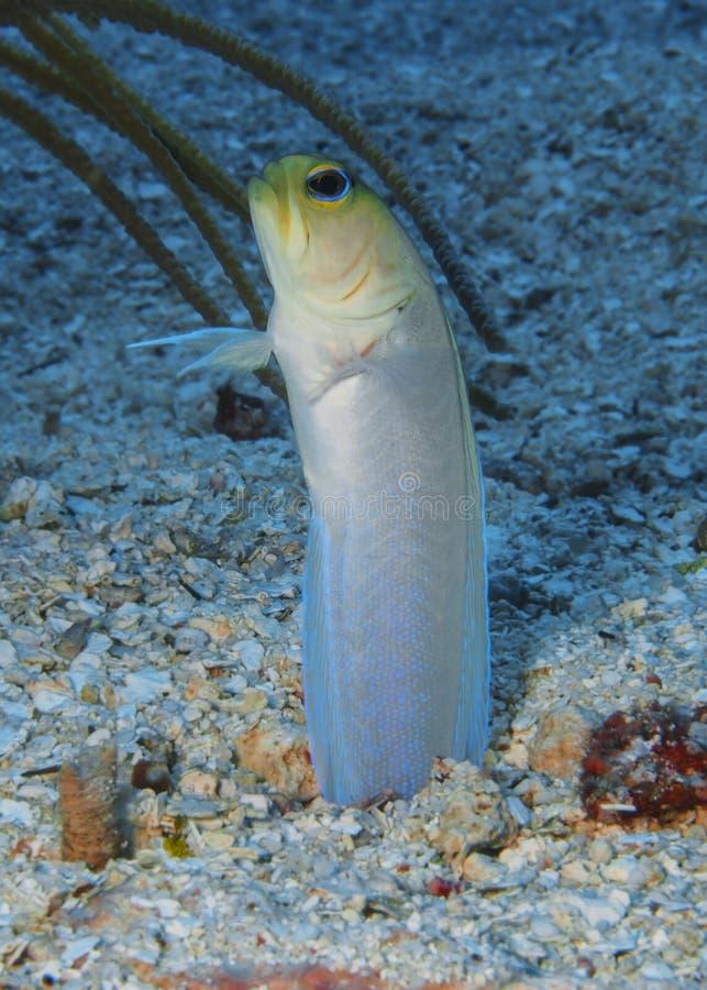 Jawfish Roatan, Honduras de Yellowhead images stock