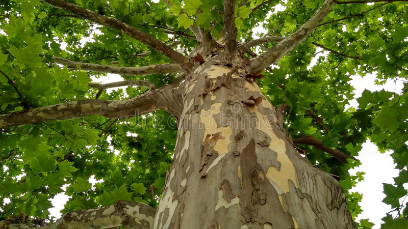 Jaworowy drzewo zdjęcia royalty free