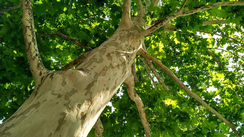 Jaworowy drzewo Platanus orientalis Łaciasty płaski drzewny bagażnik pod sunlight_9 zdjęcia royalty free