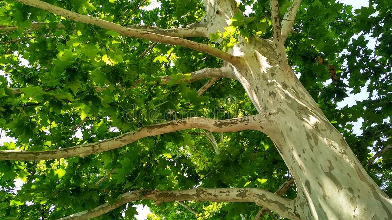 Jaworowy drzewo Platanus orientalis Łaciasty płaski drzewny bagażnik pod sunlight_11 zdjęcie stock