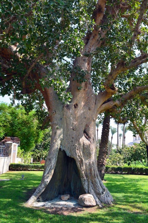Jaworowy drzewo w Jerychońskim fotografia stock