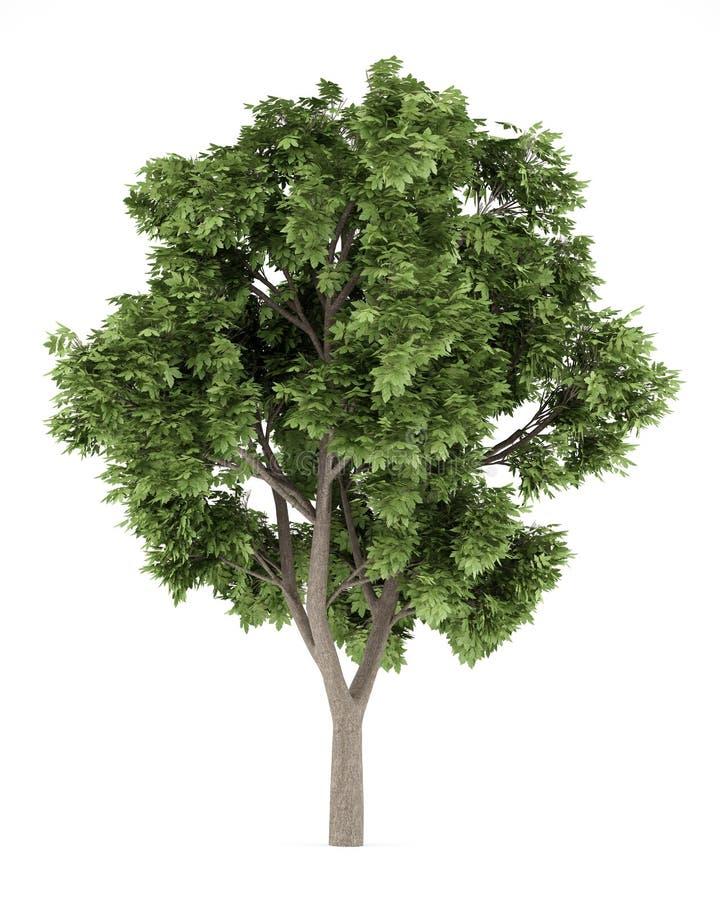 Jaworowy klonowy drzewo na białym tle ilustracja wektor