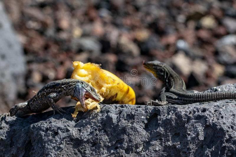 Jaws wide open as a La Palma wall lizard Gallotia galloti palmae eats a piece of banana. Whilst resting on volcanic rock royalty free stock images