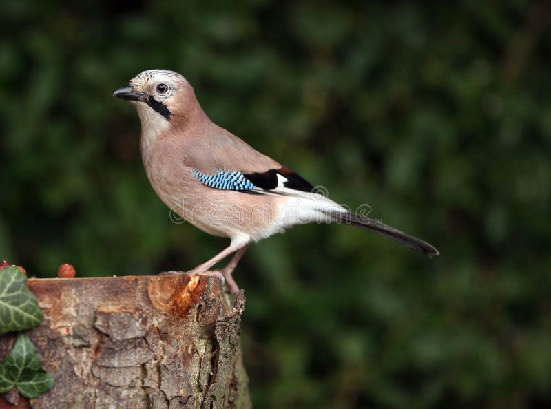 Jay photo stock