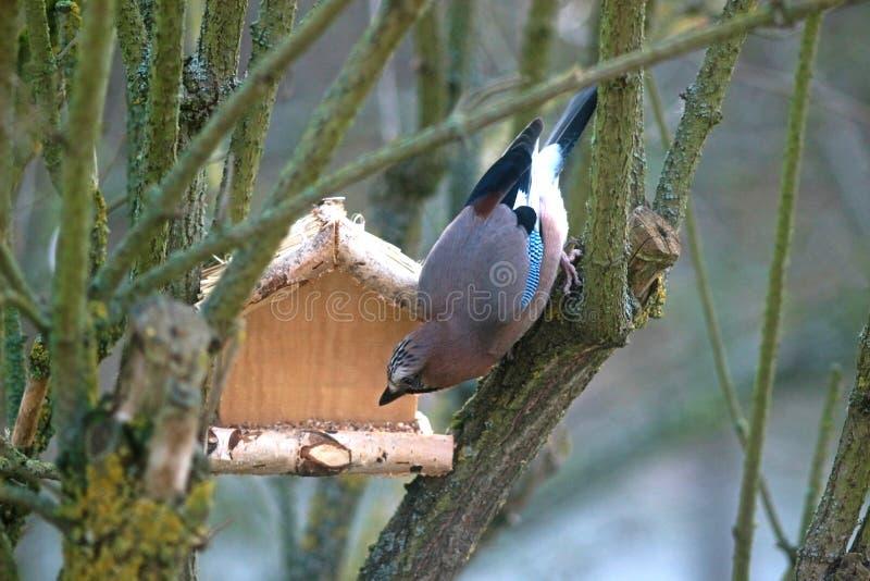 Jay ad un alimentatore di legno dell'uccello immagine stock