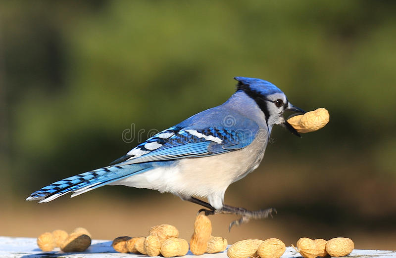 Jay azul imagem de stock