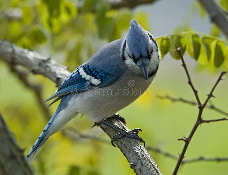 Jay azul fotos de stock