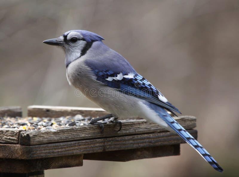 Jay azul en un alimentador foto de archivo