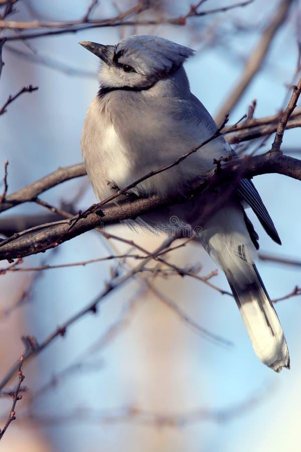 Jay azul encaramado en el miembro de árbol foto de archivo libre de regalías