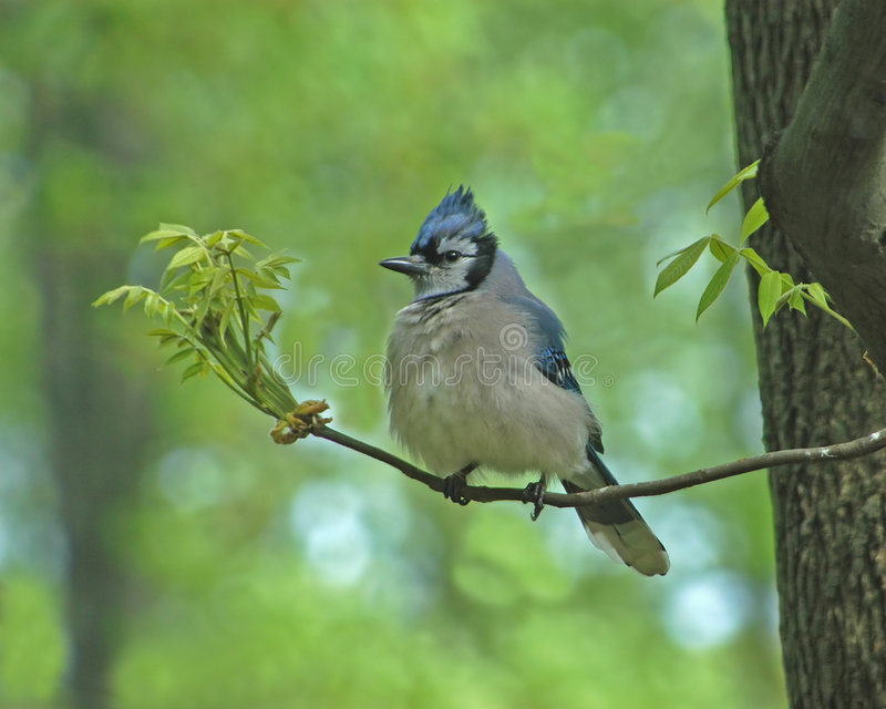Download Jay Bird stock photo. Image of nature, blue, trees, birds - 4862