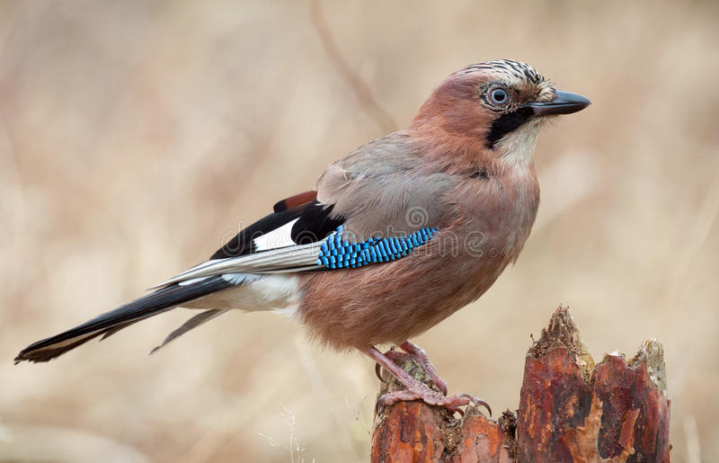 Jay Bird royaltyfri foto