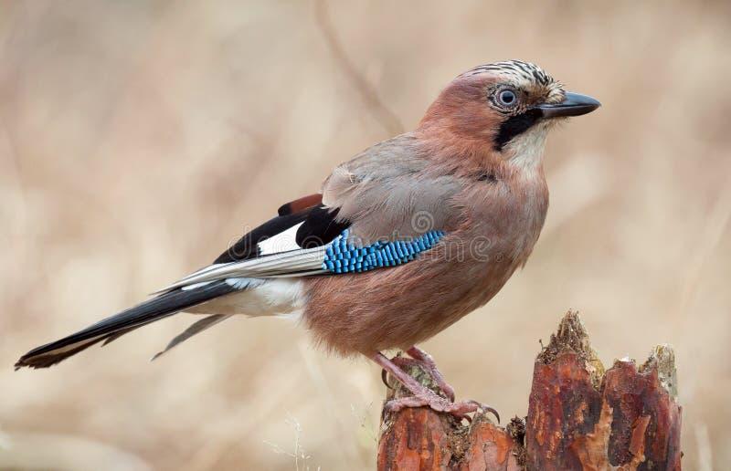 Jay Bird fotografia stock libera da diritti